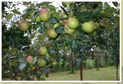 de appelboom