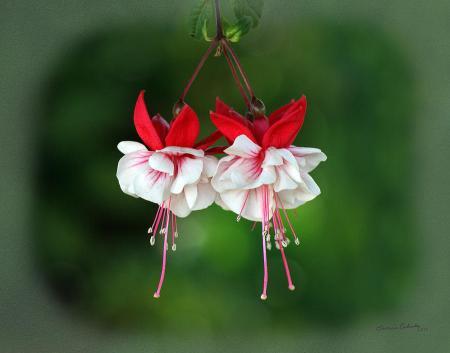 fuchsia-flowers-ernie-echols