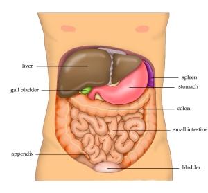 Anatomy_Abdomen